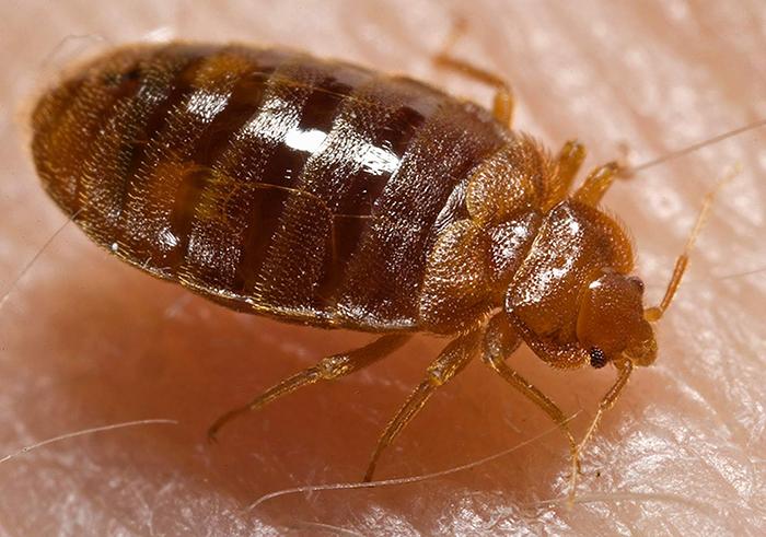 Bed_bug